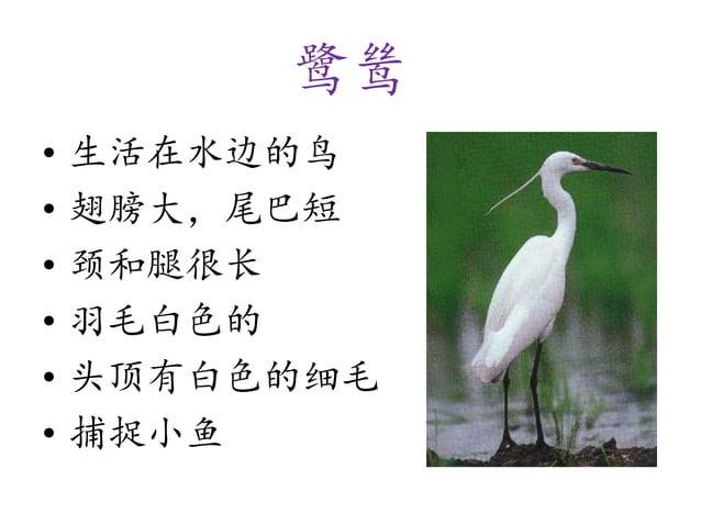 鹭鸶 • 生活在水边的鸟 • 翅膀大,尾巴短 • 颈和腿很长 • 羽毛白色的 • 头顶有白色的细毛 • 捕捉小鱼