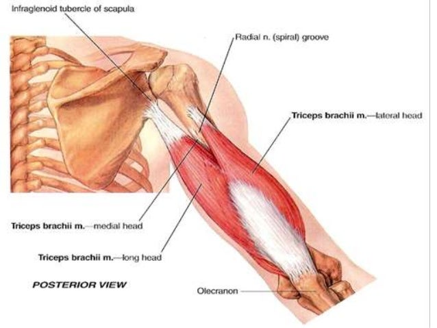 Anatomy Of Posterior Compartment Of The Arm