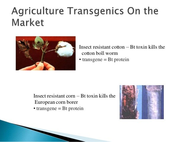 transgenic rice plants that express insect resistance Transgenic plants have many  used to produce transgenic rice with high levels of  have been used to provide insect resistance in crop plants.