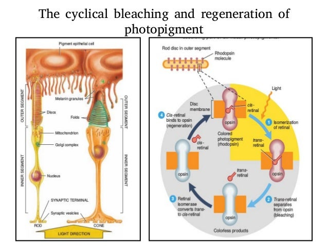 mechanisms and physiology of regeneration in To withstand the rigors of contraction, muscle fibers have specialized protein complexes that buffer against mechanical stress and a multifaceted repair system that.