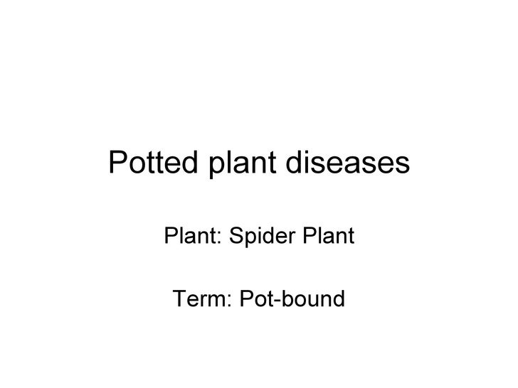 Potted plant diseases Plant: Spider Plant Term: Pot-bound