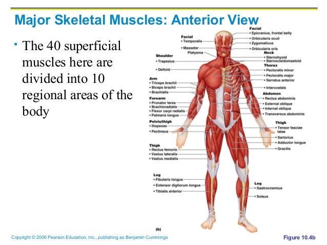 Major Skeletal Muscles Diagram Quiz All Kind Of Wiring Diagrams