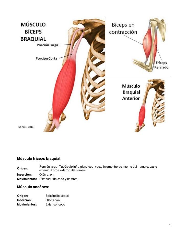 Excelente Músculo Tríceps Festooning - Imágenes de Anatomía Humana ...