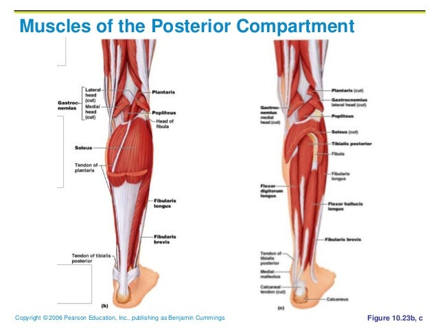 10 d muscles system muscles of the posterior compartment ccuart Gallery