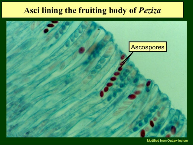Peziza asexual reproduction advantages