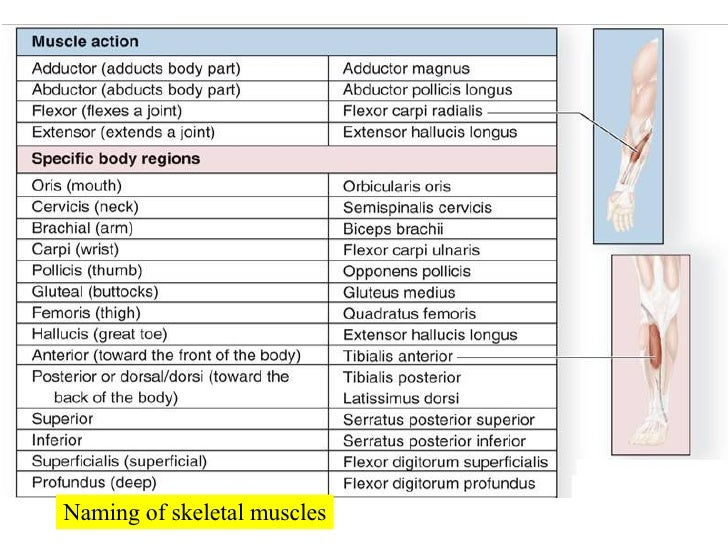 organization of muscle tissue Inside each skeletal muscle, muscle fibers are organized into bundles, called fascicles, surrounded by a middle layer of connective tissue called the perimysium this fascicular organization is common in muscles of the limbs it allows the nervous system to trigger a specific movement of a muscle by activating a subset of muscle fibers within a .