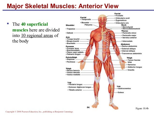 the origin and critical function of human inequality Structure & function of the knee one of the most complex simple structures in the human body  origin anterior-inferior iliac spine.