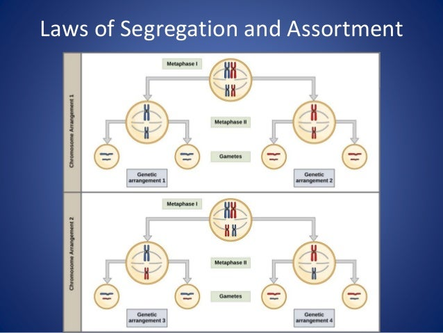 Laws of Segregation and Assortment