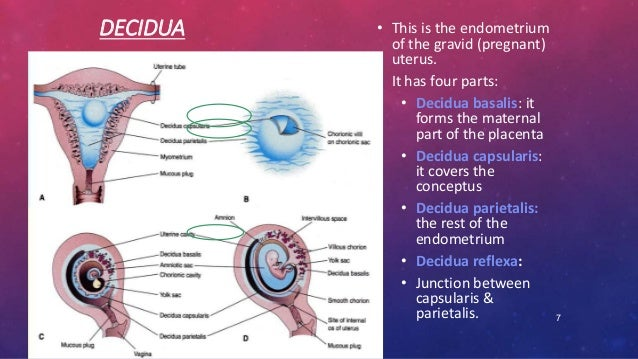 Placenta Embryology