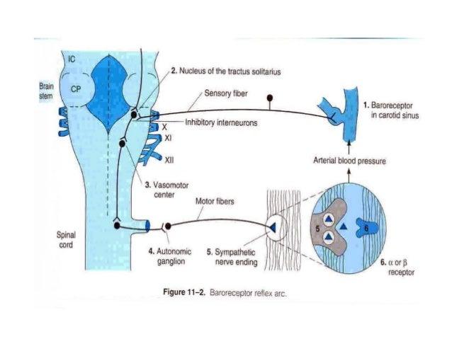ĐẠI CƯƠNG (tt) Hoạt động hệ giao cảm: Đáp ứng của các thụ thể: Khi kích thích các thụ thể: * α trung ương:  giảm hoạt độn...