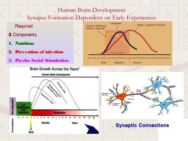Human Brain Development        Synapse Formation Dependent on Early Experiences   Required3 Components1. Nutrition2. Preve...