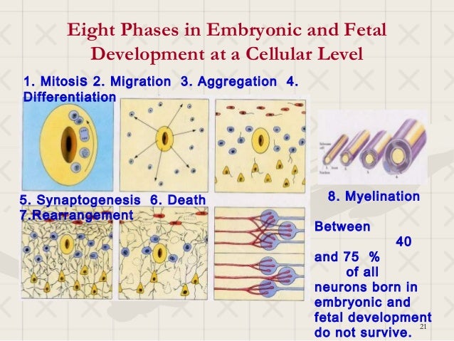 Eight Phases in Embryonic and Fetal        Development at a Cellular Level1. Mitosi s 2. Migration 3. Aggregation 4.Differ...