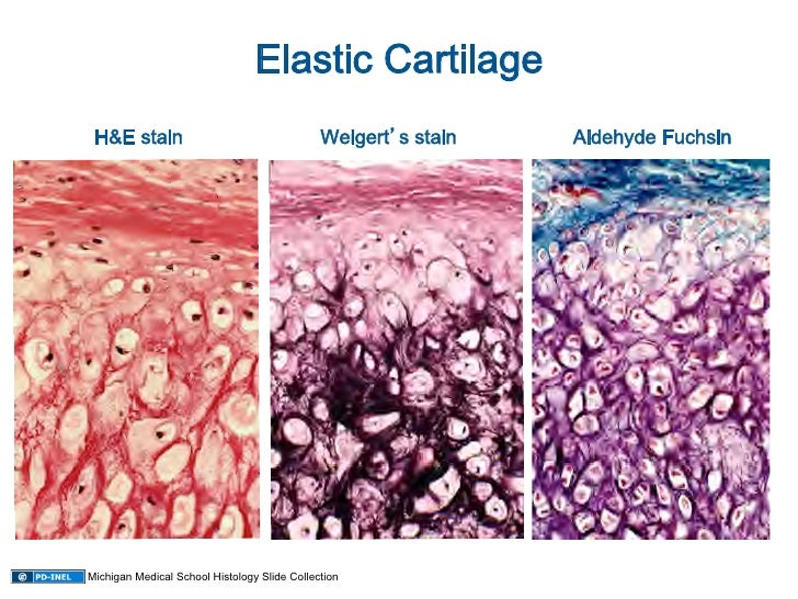 10 08 08 Histology Cartilage Mature Bone