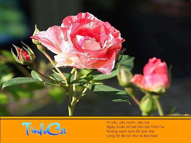Vì yêu, yêu nước, yêu nòi  Ngày Xuân tôi hát nên bài Tình Ca  Ruộng xanh tươi tốt quê nhà  Lòng tôi đã nở như là đóa hoa!