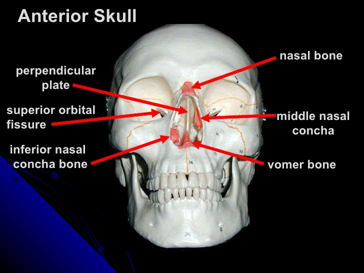base of mandible diagram 104112 axial skeleton tutorial skull  104112 axial skeleton tutorial skull