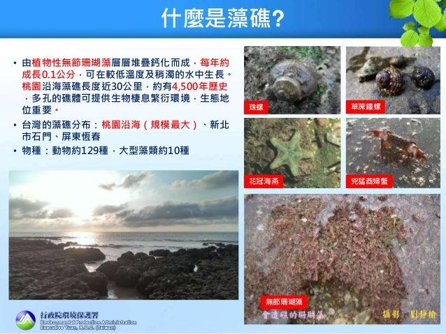 什麼是藻礁? • 由植物性無節珊瑚藻層層堆疊鈣化而成,每年約 成長0.1公分,可在較低溫度及稍濁的水中生長。 桃園沿海藻礁長度近30公里,約有4,500年歷史 ,多孔的礁體可提供生物棲息繁衍環境,生態地 位重要。 • 台灣的藻礁分布:桃園沿海(...