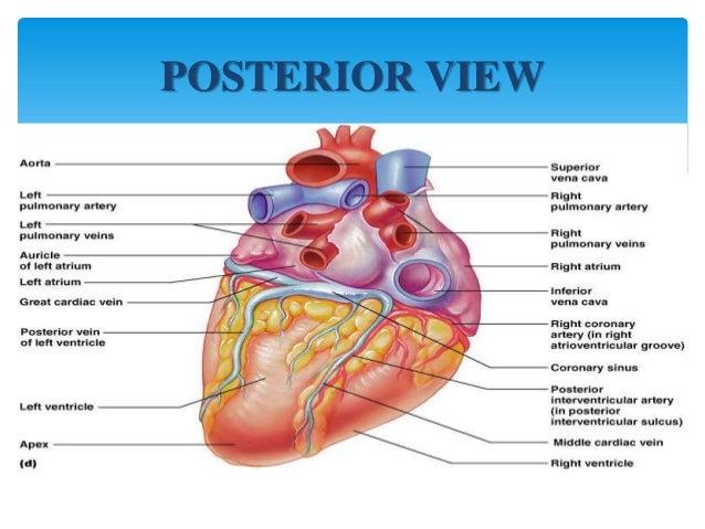 the heart, Cephalic Vein