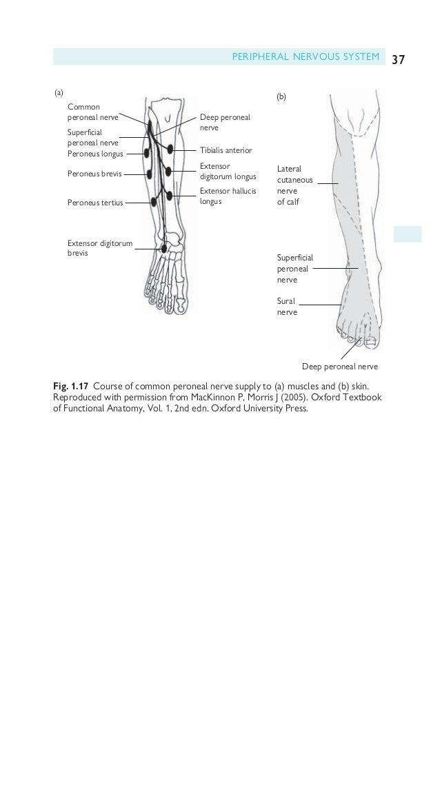 Modern Pediatric Elbow Anatomy Vignette - Anatomy And Physiology ...