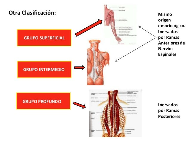 Músculos e la columna vertebral humana.