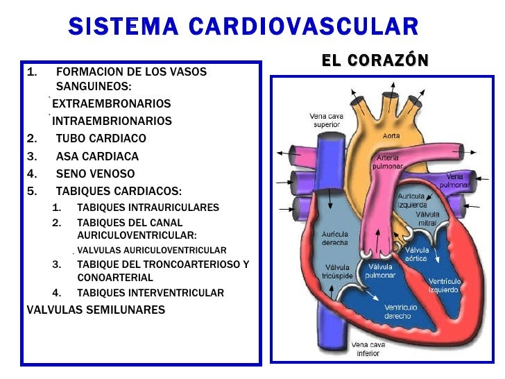 SISTEMA CARDIOVASCULAR <ul><li>FORMACION DE LOS VASOS SANGUINEOS: </li></ul><ul><ul><li>EXTRAEMBRONARIOS </li></ul></ul><u...