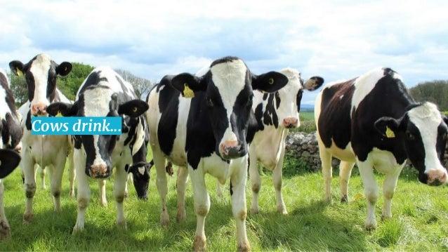 11 Cows drink...