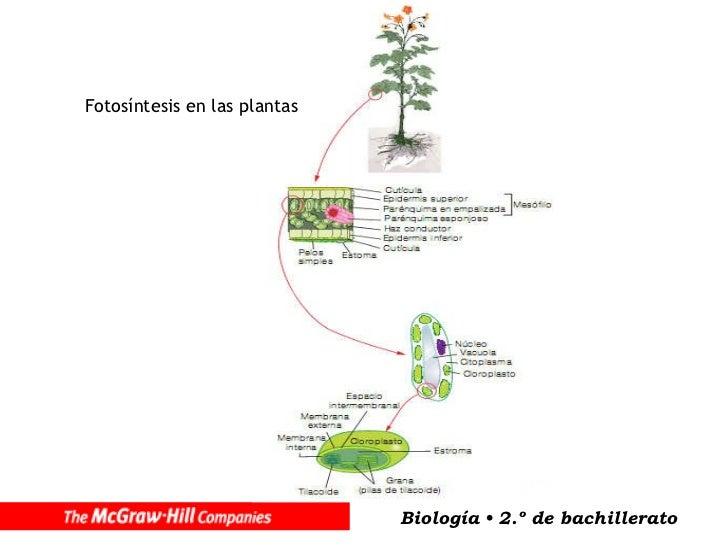 10 anabolismo for Incompatibilidad en plantas