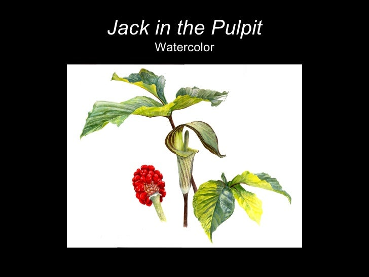 Jack in the Pulpit Watercolor