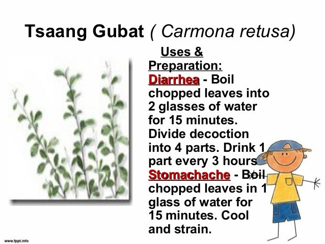 wound healing and guava leaves essay Can guava leaves cure wounds an infusion made from the leaves of guava can really heal wounds aside from healing wounds guava can also help cure toothache.