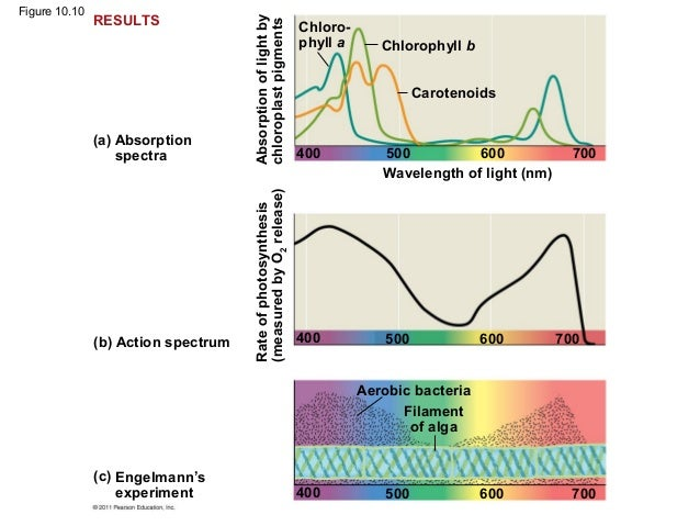 ap bio essays on photosynthesis