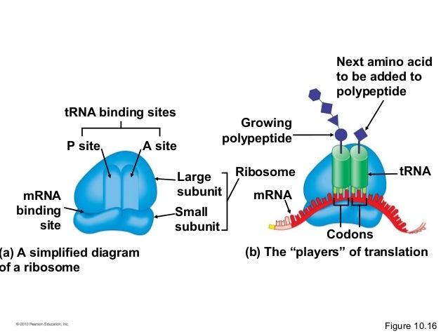 Ribosome With Mrna Diagram Diy Wiring Diagrams