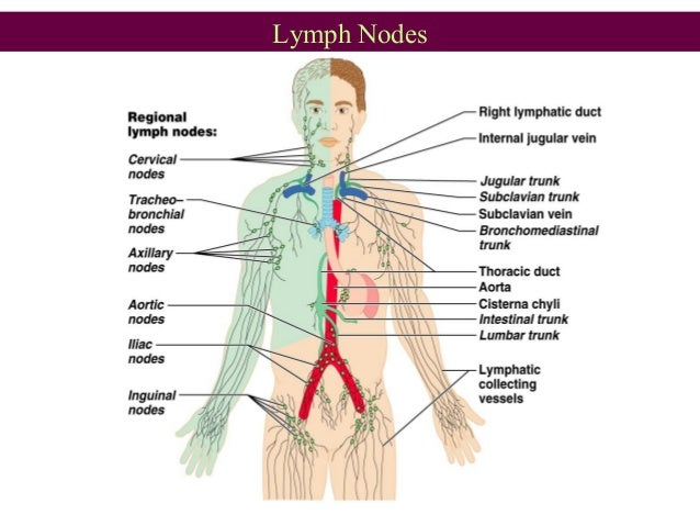 Anatomy Of Lymphatic System Ppt