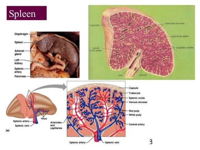 18 Spleen