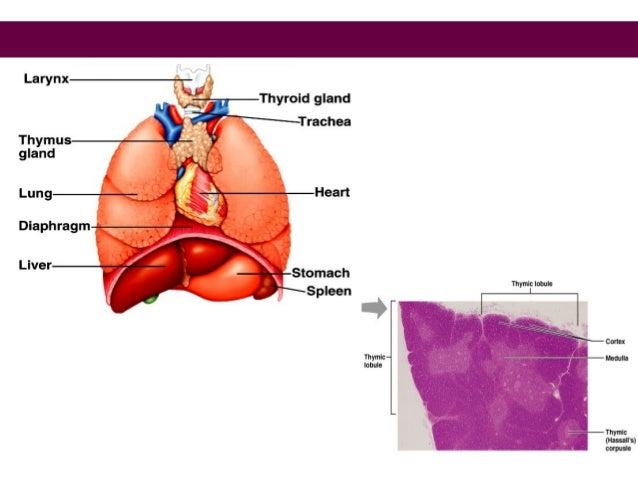 "Palatine (usual tonsillitis) Lingual (tongue) Pharyngeal (""adenoids"") Tubal Tonsils * * * Simplest lymphoid tissue: swelli..."
