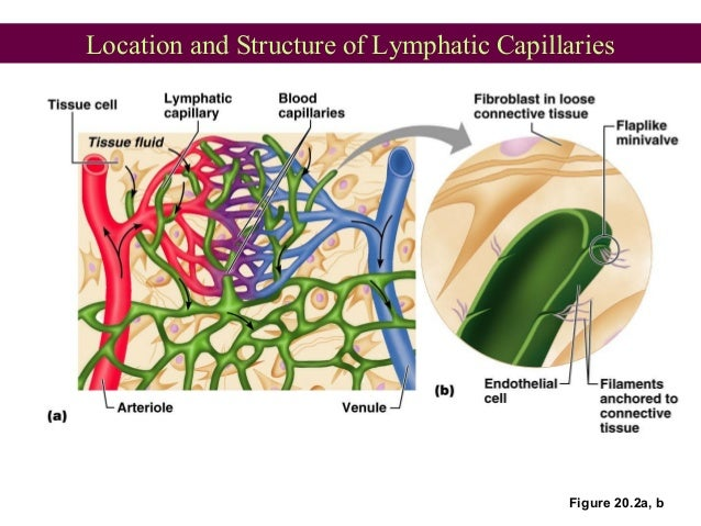 Location and Structure of Lymphatic Capillaries Figure 20.2a, b