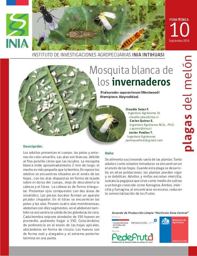 FICHA TÉCNICA 10 INSTITUTO DE INVESTIGACIONES AGROPECUARIAS INIA INTIHUASI plagasdelmelón Septiembre 2016 Mosquita blanca ...