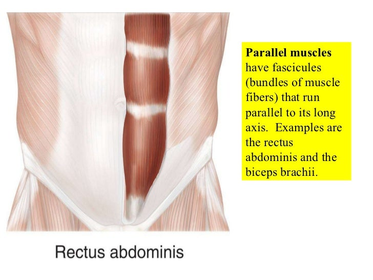 organization of muscle tissue What are the organization levels of muscle your muscles are made of muscle tissue and connective tissue called fascia what is level of organization.