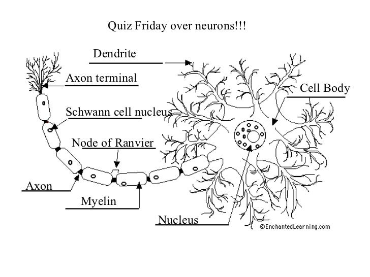 10 neurons intro to nervous 12 ccuart Images