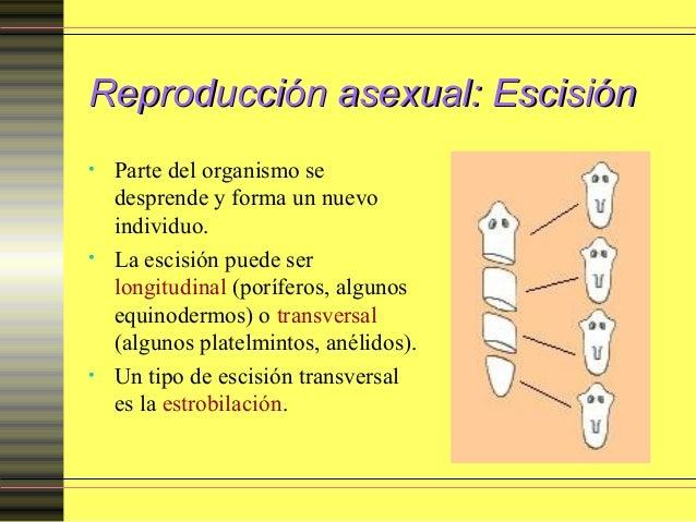 Equinodermos reproduccion asexual imagenes