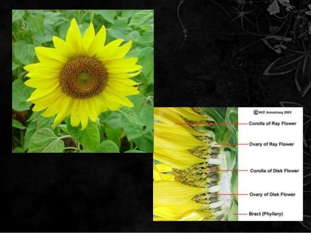 Wow 19 Gambar Bunga Matahari Beserta Bagian Bagiannya Gambar Bunga Hd