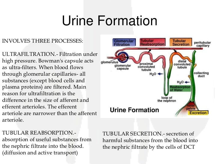 steps in urine formation The urinary system: nephron & urine formation updated on november 6, 2017 how the nephron works in urine formation the nephron is the functional unit of the.