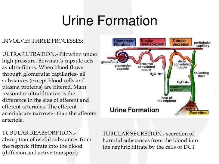 Steps in urine formation