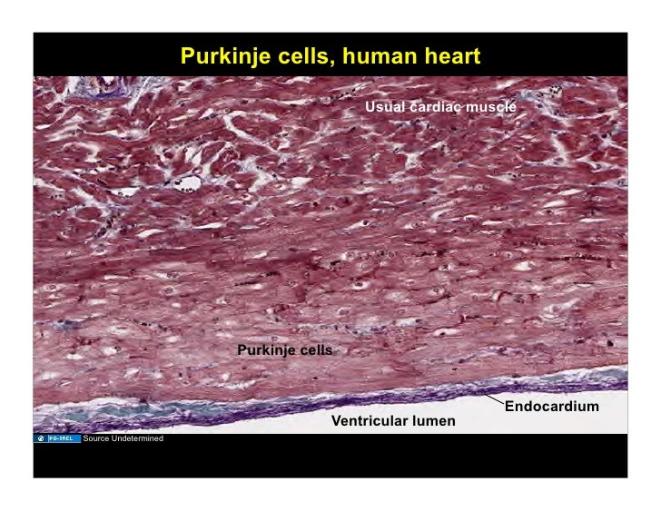 110308c histology of the cardiovascular system