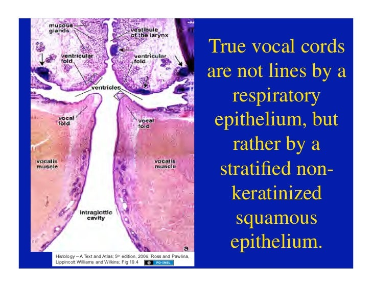 11.10.08(d): Histology of the Respiratory Tract