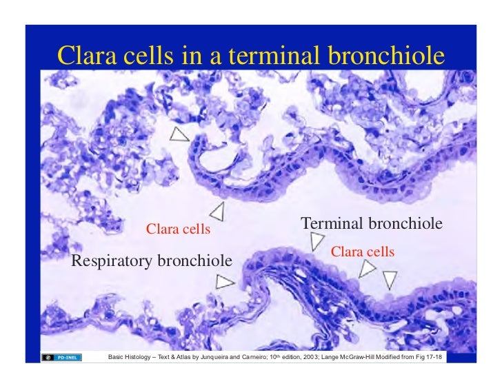 111008d Histology Of The Respiratory Tract