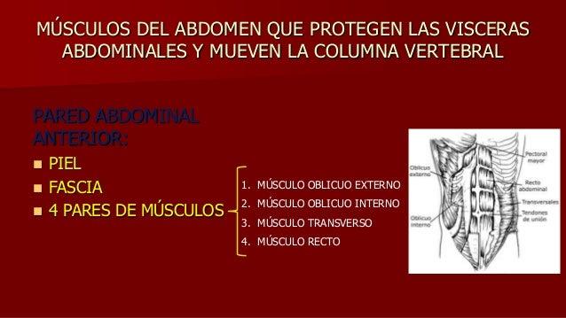 MÚSCULOS DEL ABDOMEN QUE PROTEGEN LAS VISCERAS ABDOMINALES Y MUEVEN LA COLUMNA VERTEBRAL PARED ABDOMINAL ANTERIOR:  PIEL ...