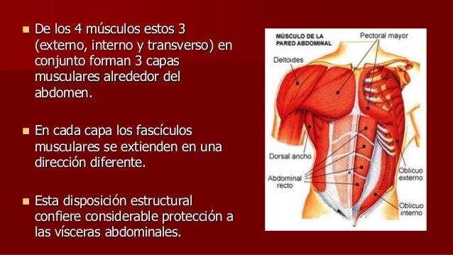 De los 4 músculos estos 3 (externo, interno y transverso) en conjunto forman 3 capas musculares alrededor del abdomen. ...