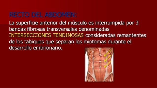 RECTO DEL ABDOMEN: La superficie anterior del músculo es interrumpida por 3 bandas fibrosas transversales denominadas INTE...
