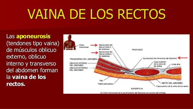 VAINA DE LOS RECTOS Las aponeurosis (tendones tipo vaina) de músculos oblicuo externo, oblicuo interno y transverso del ab...
