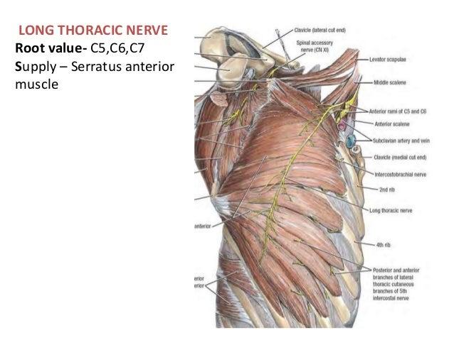 brachial plexus applied anatomy