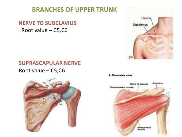 Applied anatomy of brachial plexus